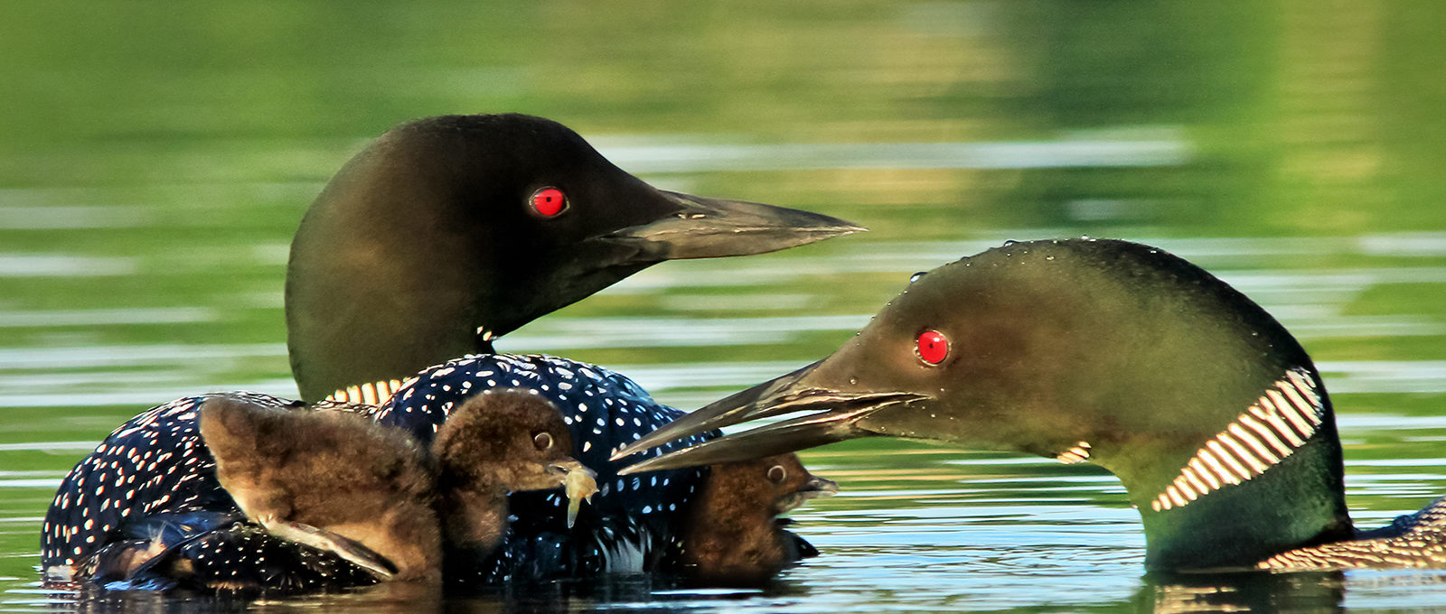 Loon and Baby