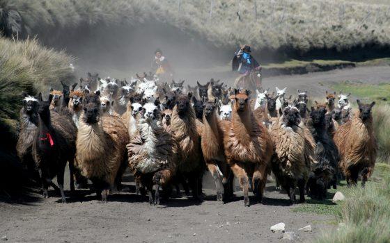 Llamas running