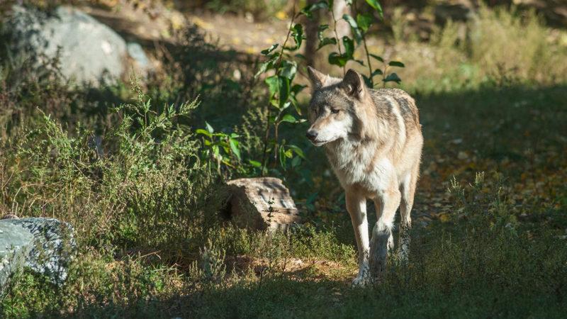 Oct 23: Virtual Wolf Ecology Workshop