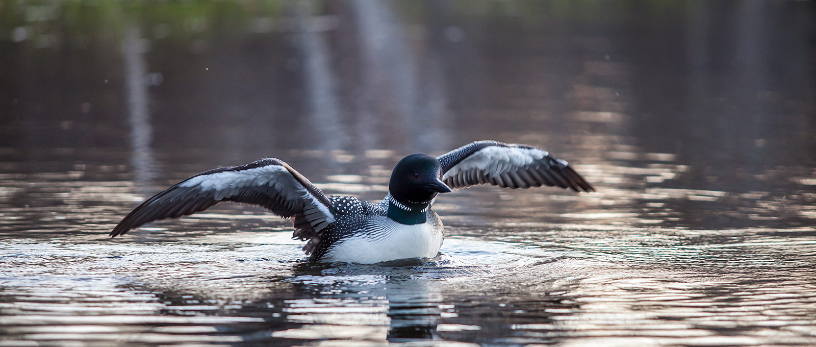 Loon airs its wings