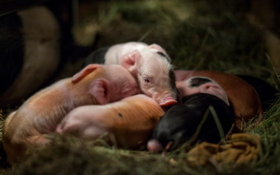 Baby piglets nestled together