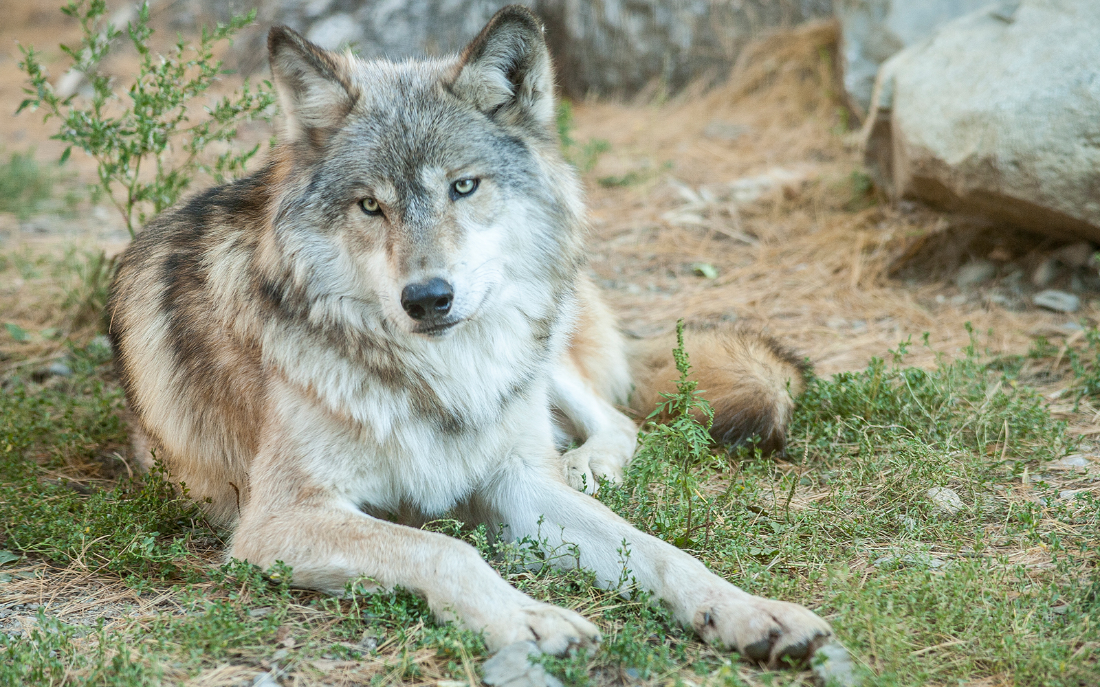 learn about wolves northland college