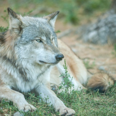 Wolf laying down
