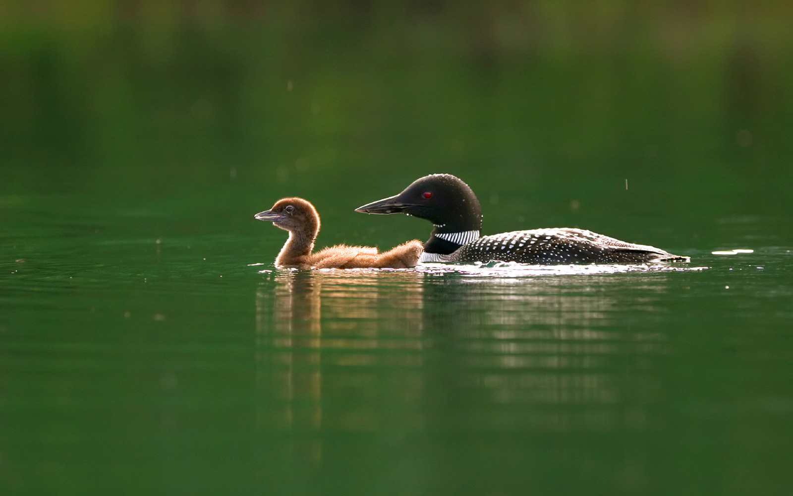 Loon and baby on lake