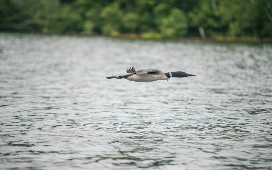 Loon flying over a lake