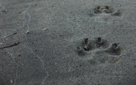 wolf track in the sand