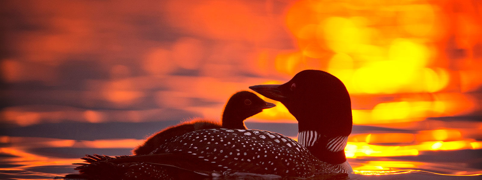 Mother loon and her chick
