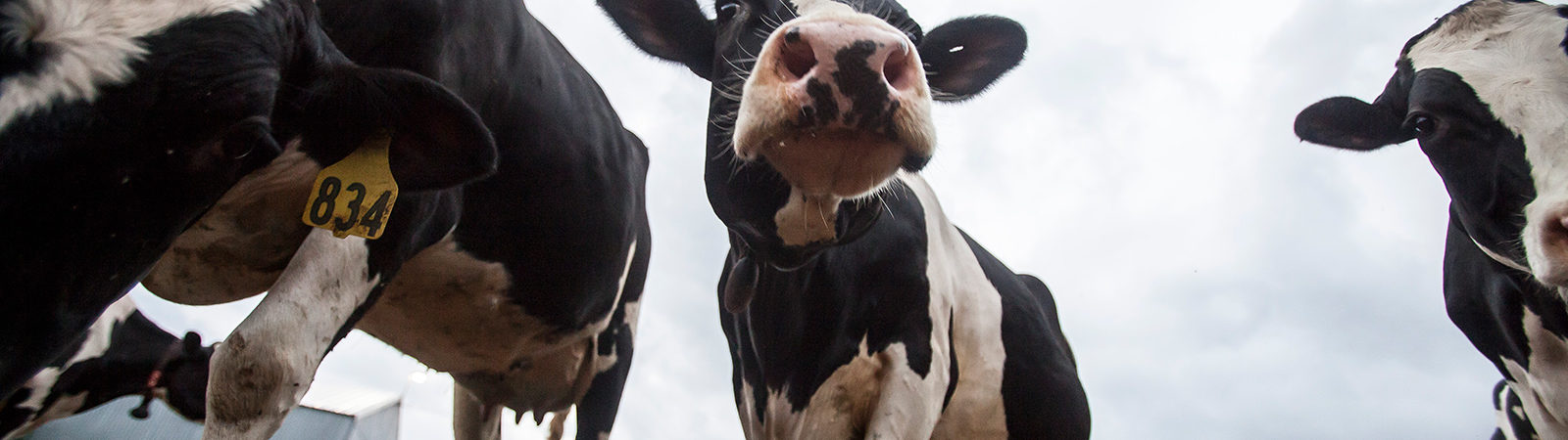 Photo of a holstein cow