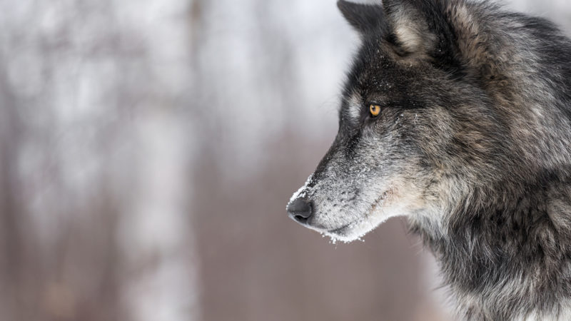 Oct 19–20: Drawing Wolves with Artist Sarah Nelson