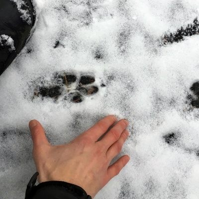 Tracking canines in snow