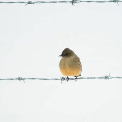 Bird on a barb fence