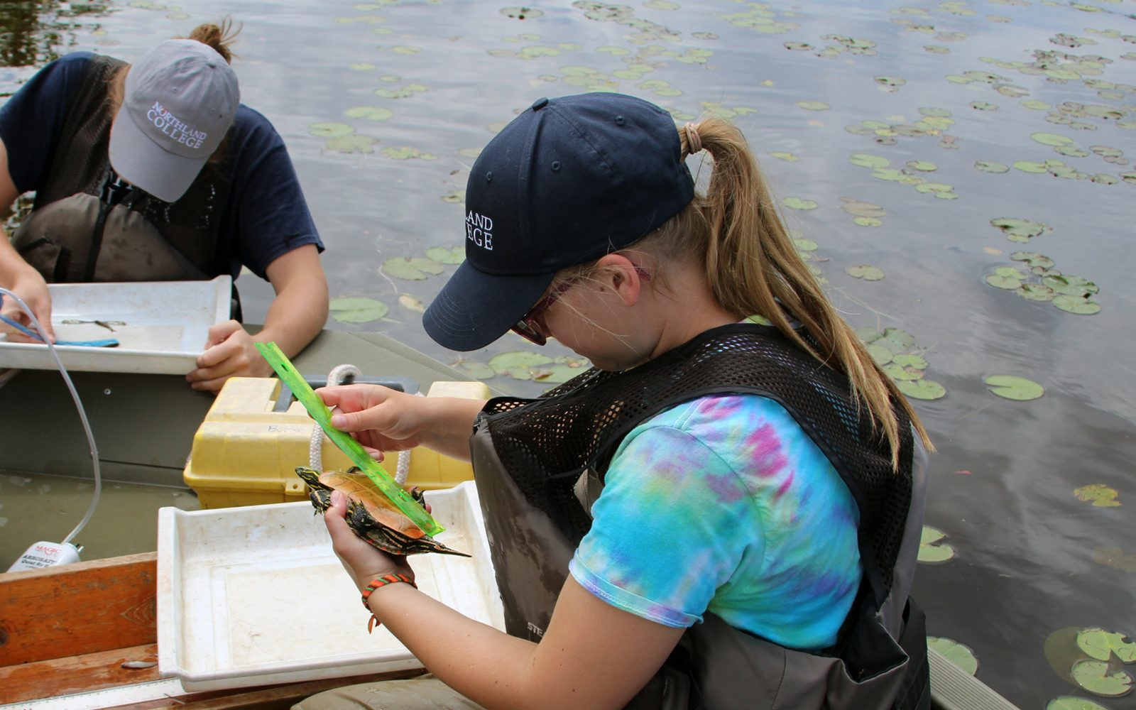 Northland College student measures turtle