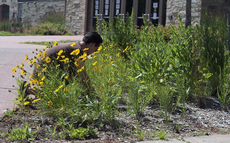 Northland College graduate Danny Simpson tends the pollinator garden