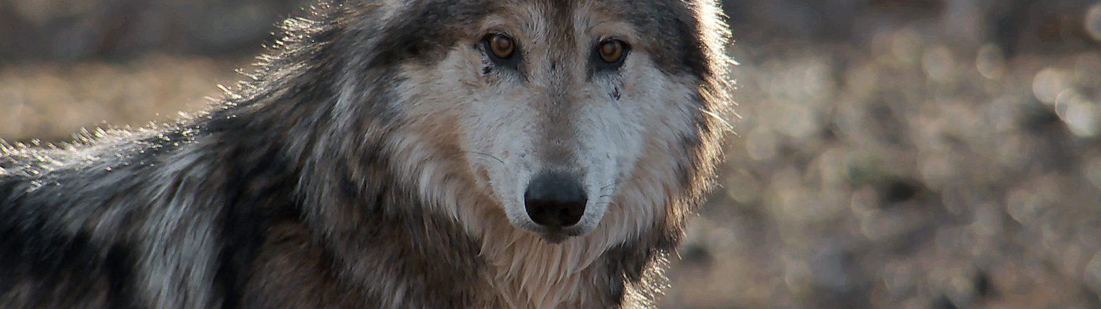 Mexican gray wolf movie still