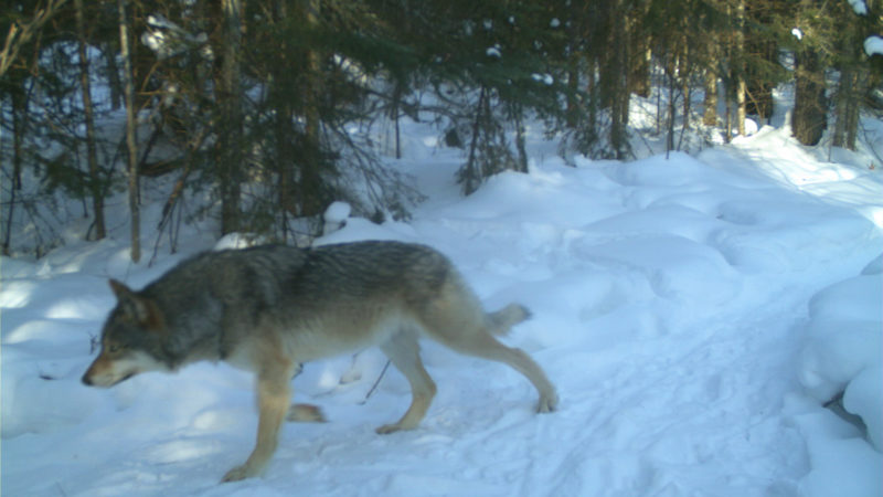 Wolf hunting, captured on trail camera, Maxwell Property