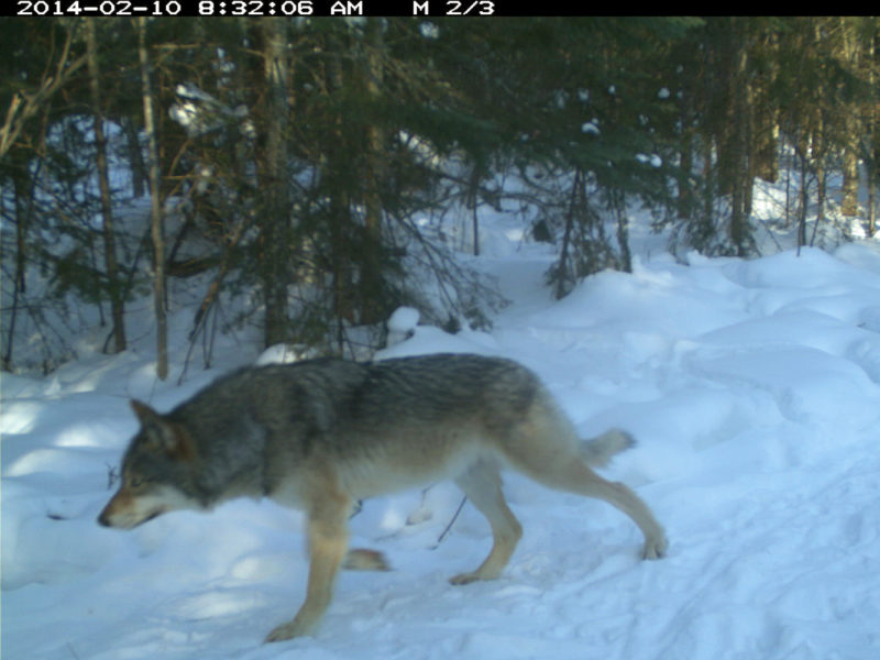 <em>Canis lupus</em>, on the Maxwell trail camera.