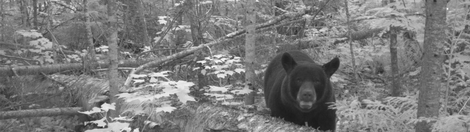 Black bear on a trail cam
