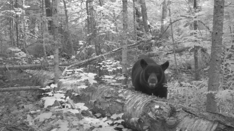 Black bear on a trail cam