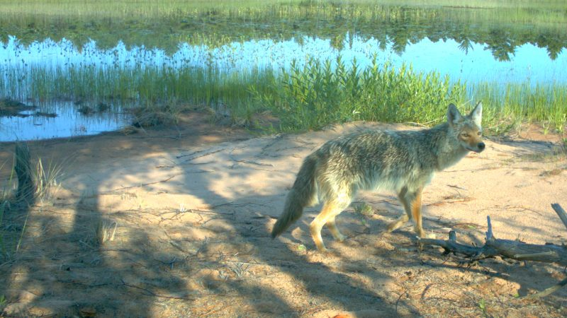 Coyote at Stockton Island caught on film with a camera trap