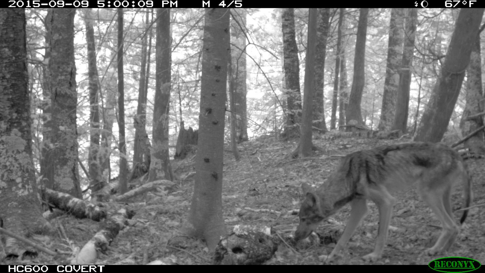 Wolf captured with camera trap on Apostle Islands.