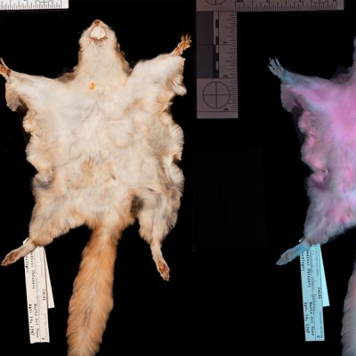 Two flying squirrel specimens