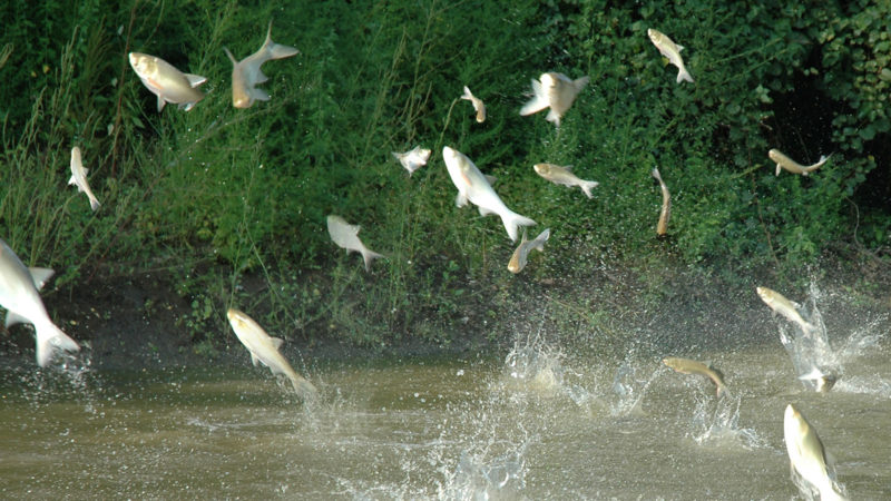 carp jumping out of a lake