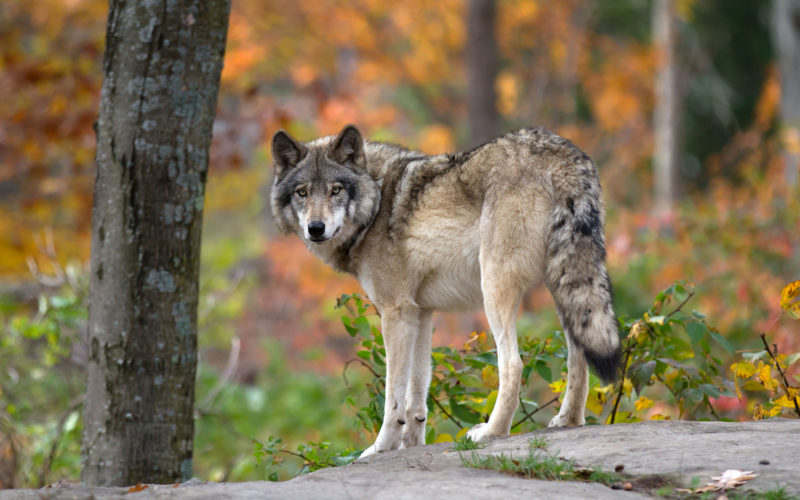 Timber Wolf Alliance wolf