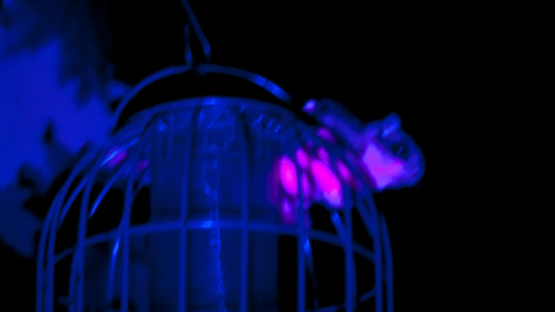 Flying squirrel at bird feeder fluorescing pink under UV light. Photo taken by Jon Martin, professor of forestry at Northland College.