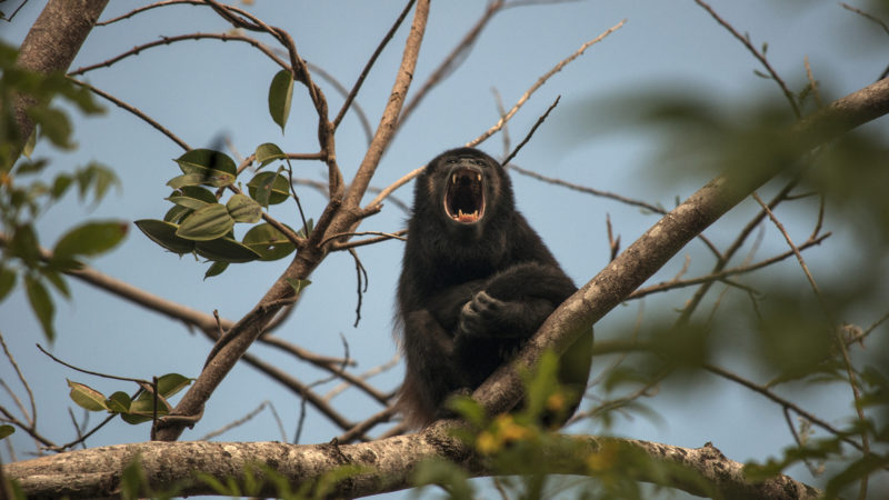 Howler monkeys start making noise at 3 a.m. but Franke didn't mind—howler monkeys were actually the point.