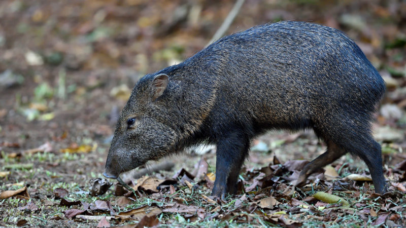 The poaching of peccaries is hypothesized to be responsible for the decline in jaguars.
