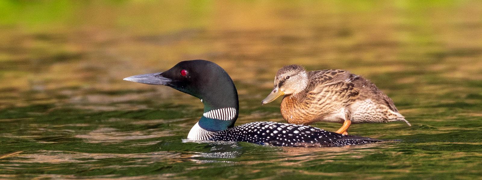 Loon with mallard duckling