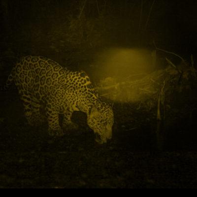 Jaguar Macho Uno