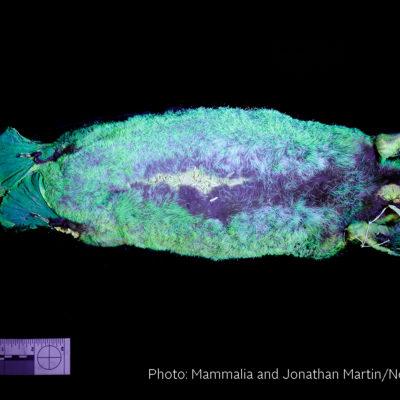 Biofluorescent platypus (Mammalia)