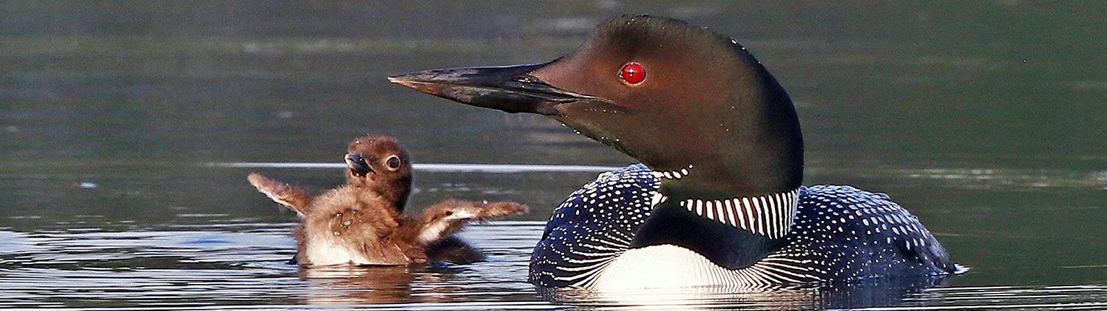 Phot0 by Brad Thompson. 2021 loonwatch winning photo of loon and chick.