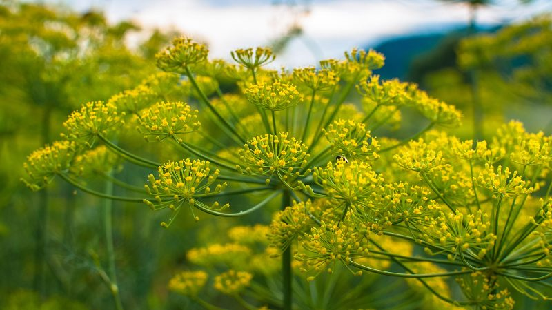 Dill plant.