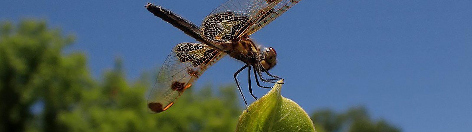 Calico dragonfly. Photo taken by Emily M. Stone